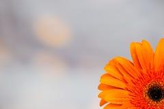 Gerber anaranjado brillante hermoso en macro Imagenes de archivo
