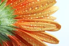 Gerber anaranjado más el rocío Foto de archivo