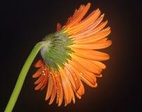 Gerber arancio Fotografia Stock Libera da Diritti