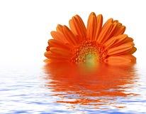 Gerber arancione alla superficie dell'acqua fotografie stock libere da diritti