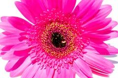 Gerber. Beautiful pink flower. Summer plant. Macro Stock Image