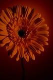 Gerber blomma på en orange bakgrund Arkivfoton