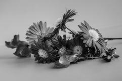 Gerber blommamakro arkivfoton