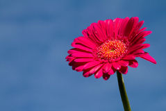 Gerber with blue sky. Gerber daisy with blue sky Royalty Free Stock Image