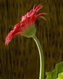 Gerber Blume. Stockbild