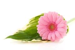 Gerber Blume auf Hostablatt Stockfotos