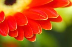 Gerber Blumenblätter Lizenzfreies Stockfoto