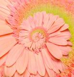 Gerber-Blumenunendlichkeitsspiralen-Zusammenfassungshintergrund. Stockbilder