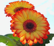 Gerber bonito Imagens de Stock Royalty Free