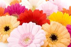 Gerber colorido Fotografía de archivo libre de regalías