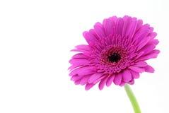 Gerber cor-de-rosa Fotografia de Stock Royalty Free