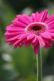 Gerber cor-de-rosa Imagem de Stock Royalty Free
