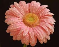 Gerber cor-de-rosa Fotos de Stock Royalty Free