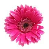 Gerber cor-de-rosa Imagens de Stock Royalty Free