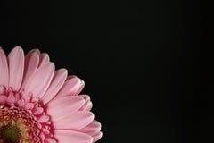 Gerber cor-de-rosa de seção transversal Imagens de Stock Royalty Free