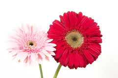 Gerber daisies. Two colorful gerber daisies, pink and red ones Stock Photos