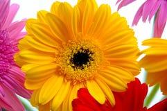 Gerber Daisies. Colorfull photo of gerber daisies royalty free stock image