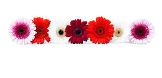 Gerber daisies. Seven colorful gerber daisies in isolated white Stock Photo