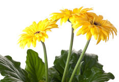 Gerber daisies. Gerbera daisies on white background Stock Images
