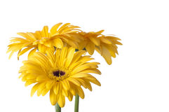 Gerber daisies. On white background Stock Photo