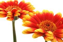 Gerber daisies stock photos