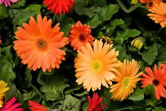 Gerber Daisies Royalty Free Stock Photo