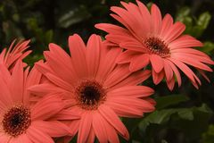 Gerber Daisies. Cluster of Pink Daisies Royalty Free Stock Photo