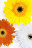 Gerber Daisies. This image shows a Gerber daisy background Royalty Free Stock Photography