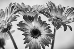 Gerber Daisies. Bunch of gerber daisies as a black and white image stock photos