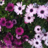 Gerber Daisies. Colorful pink and white gerber daisies stock photos