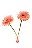 Gerber daisies isolated. On the white background Royalty Free Stock Images