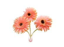 Gerber daisies isolated on the white background Royalty Free Stock Photos