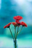 Gerber daisies Stock Image