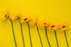 Gerber Daisies in a row. On yellow Royalty Free Stock Images