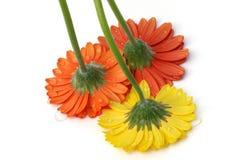 Gerber daisies on white Royalty Free Stock Photos