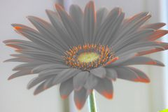 Gerber Daisy πορτοκαλιά ή κόκκινα gerberas λουλουδιών flowerpot στο παράθυρο εγχώριες εγκαταστάσεις, χρονοβόρα διαδικασία προσοχή στοκ εικόνα με δικαίωμα ελεύθερης χρήσης