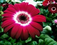 Gerber Daisy stock foto