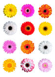 Gerber Daisy. 12 Gerber flowers daisy isolated Stock Images