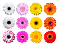 Gerber Daisy. 12 Gerber flowers daisy isolated Stock Photo