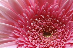 Gerber Daisy Stock Images