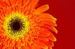 Gerber Daisy. Photo of a Orange and Yellow Gerber Daisy stock photography
