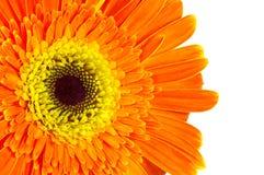 Gerber Daisy. Photo of a Orange and Yellow Gerber Daisy royalty free stock image