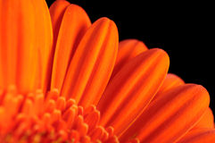 Free Gerber Daisy Royalty Free Stock Photos - 20249378