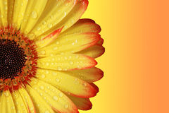 Gerber Daisy. Orange and yellow colors. Close up royalty free stock photography