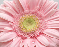 Gerber daisy. Close up of gerber daisy with droplet royalty free stock image