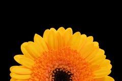 Gerber daisy royalty free stock photo