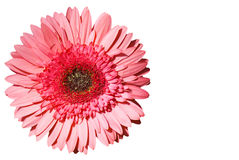 Gerber Daisy. A daisy of the gerbera variety isolated on a white background Royalty Free Stock Photo