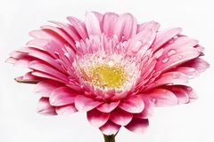 Gerber daisy Stock Image