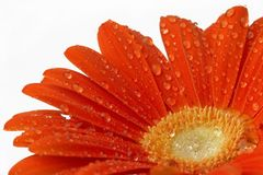Gerber daisy. Red wet gerber daisy on white background royalty free stock image
