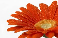 Gerber daisy. Red gerber daisy isolated on white background stock photos